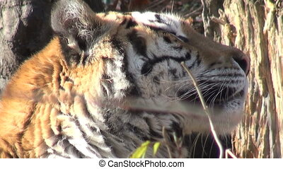 simerian tiger is relaxing and resting,close-up