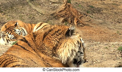 simerian tiger is relaxing and rest