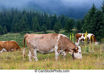 Group of simmental cows grazing on meadow in front of evergreen forest on Balkan mountains in Serbia. Traditional and healthy natural cattle breeding