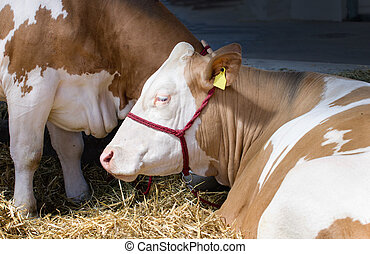 Simmental cow lying on the straw in the barn