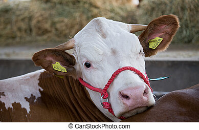 Portrait of simmental cow's calf laying in barn