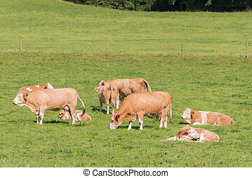 simmental herd - herd of simmental cattle in green meadow