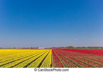 Simmetric view of a tulips field in Noordoostpolder