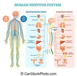 simpatico, tutto, organs., nervoso, sistema medico, illustrazione, diagramma, vettore, collegato, parasympathetic, umano, nervi, interno