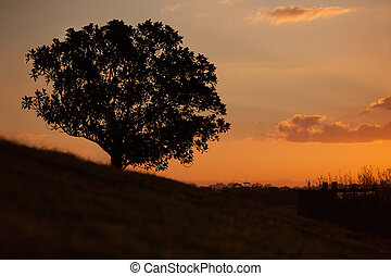 Simple sunset and tree on the hill at Observatory Hill