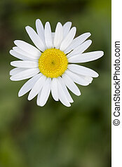 Simple white daisy against green grass