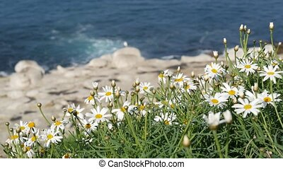 Simple white oxeye daisies in green grass over pacific ocean splashing waves. Wildflowers on the steep cliff. Tender marguerites in bloom near waters edge in La Jolla Cove San Diego, California USA