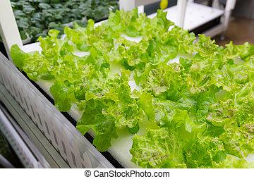 simples, crescendo, hydroponic, sistema, alface