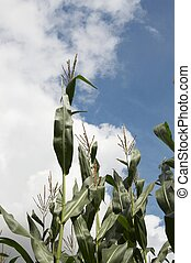 Simply corn and clouds
