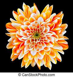 sinaasappel en wit, chrysant, bloem, vrijstaand, op, black