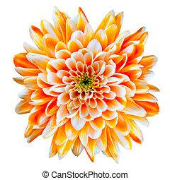 sinaasappel en wit, chrysant, bloem, vrijstaand, op wit