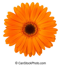 sinaasappel, madeliefje, bloem, vrijstaand, op wit
