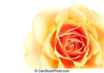sinaasappel, mooi, roos