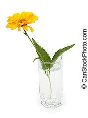 sinaasappel, osteospermum, madeliefje, of, kaap, madeliefje, bloem, in, een, glas, van, water., vrijstaand, op, witte , achtergrond.