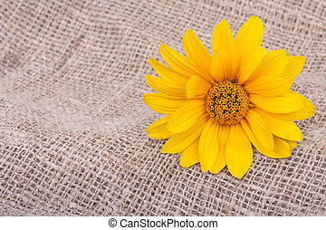 sinaasappel, osteospermum, madeliefje, of, kaap, madeliefje, bloem, op, decoratief, tafelkleed, op, het ontslaan, achtergrond., close-up.
