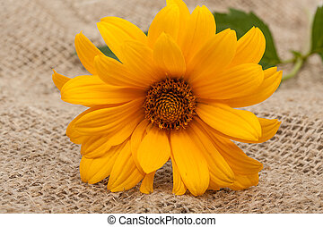 sinaasappel, osteospermum, madeliefje, of, kaap, madeliefje, bloem, op, decoratief, tafelkleed, op, sackcloth, achtergrond., close-up.