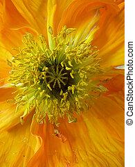 sinaasappel, poppy01