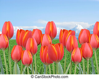 sinaasappel, tulpen, gras, hemel, rood