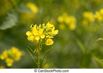 Mustard yellow flower green field