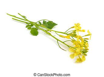 Sinapis flower. Isolated.