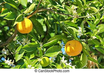 sinensis de la fruta cítrica
