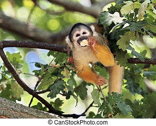 singe écureuil, manger