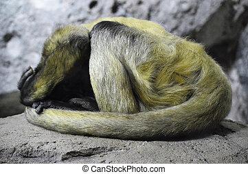 singe araignée