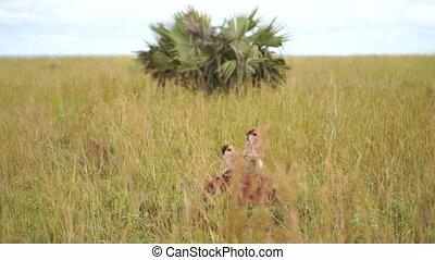 singe, autre, une, puces, séance, grand, africaine, savane, grattement, regarder, herbe