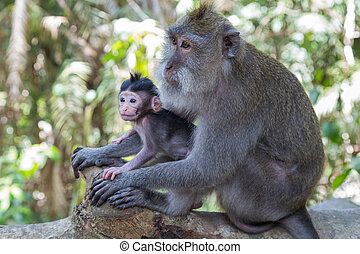 singe,  Bali, mère, forêt, sacré,  Ubud, bébé