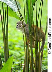 singe, forêt tropicale amazone, écureuil