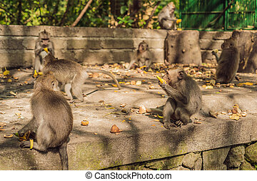 singe, indonésie, ubud, forêt, macaques, sacré, fascicularis, macaca, long-tailed