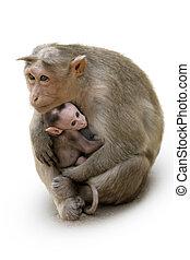 singe, macaca, famille, dans, indien, ville