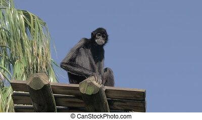 singe, noir, séance, tranquillement, pont, araignés, bois, ...