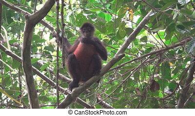 singe, sur, arbre, araignés, regarder, appareil photo, branche, grattements