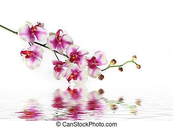 singel hejda, av, orkidé, blomma, på, vatten