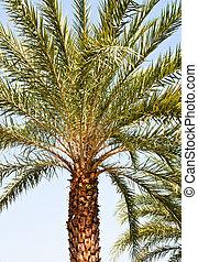 singel, träd., palm