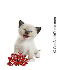 A little Siamese Snowshoe Lynx-point kitten singing a Christmas song. Shot against white background.