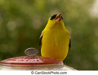 American finch singing a song