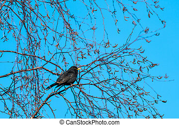 Singing Blackbird in a beautiful spring season day