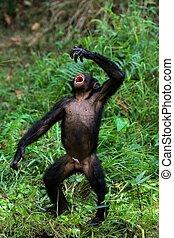 Singing Bonobo. - The Bonobo, Pan paniscus, previously...