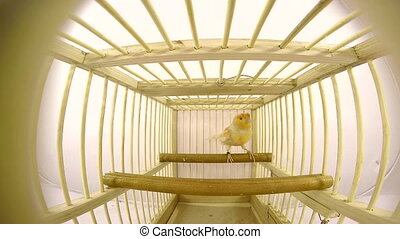 singing canary in a cage isolated on a white screen.