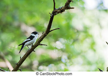 Singing Collared Flycatcher in a bright forest