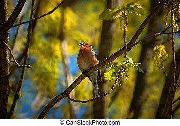 Singing european robin