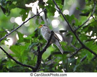 singing nightingale on a tree branch