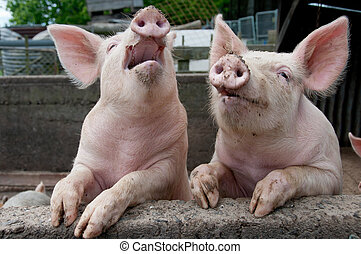 Singing pigs - Pigs up on wall in a pig sty looking like ...