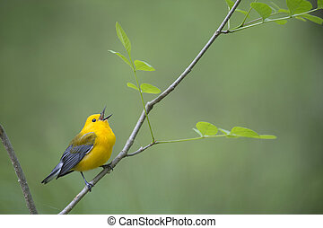 Singing Prothonotary Warbler