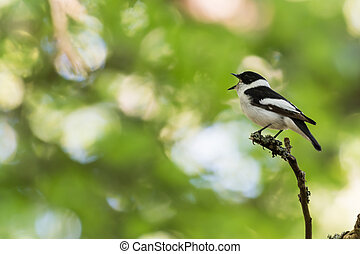 Singing songbird on a twig in a bright forest