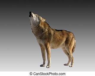 Singing wolf - Isolated singing wolf on a gray gradient ...