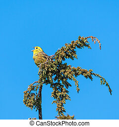 Singing Yellowhammer on a twig