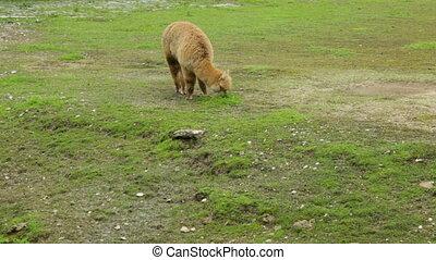 Single alpaca